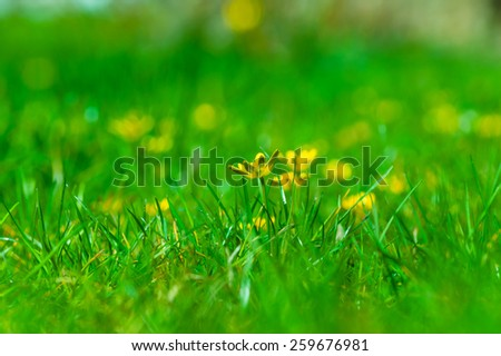 Yellow buttercups lost in the green grass. - stock photo