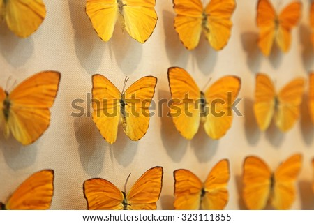 Yellow butterflies on display  - stock photo