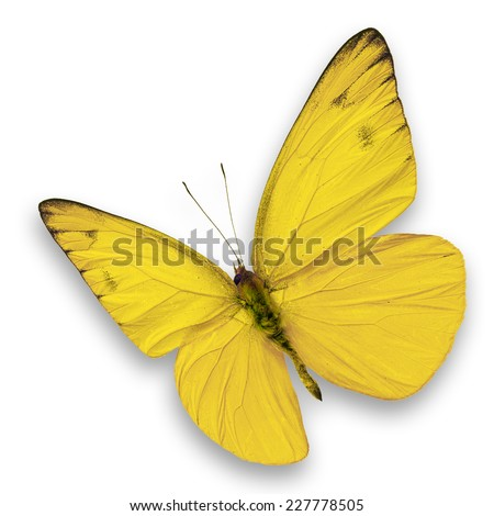 Yellow butterfly isolated on white background - stock photo