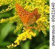 Yellow butterfly on a yellow flower (Silver-Washed fritillary) - stock photo