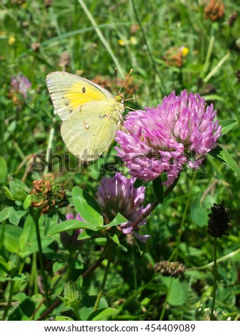 Yellow butterfly on clover flower - stock photo