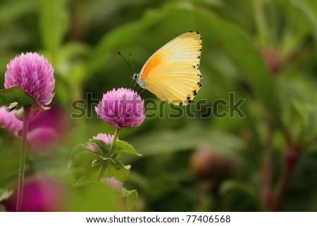 Yellow butterfly on purple flower - stock photo