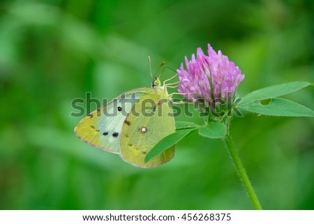 Yellow butterfly on red clover flowers - stock photo