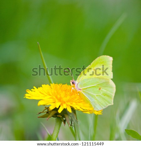 Yellow butterfly on yellow flowers - stock photo