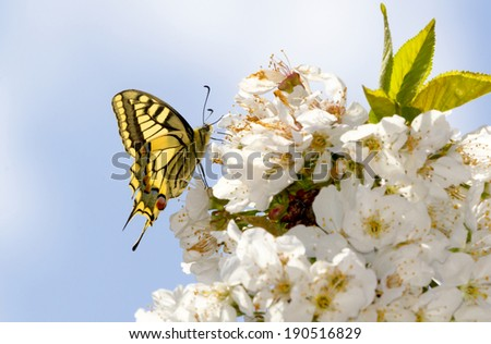 Yellow butterfly, Papilio machaon, collecting pollen in cherry blossoms - stock photo