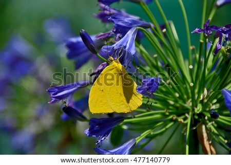 Yellow butterfly resting on blue flower in Santa Barbara, California