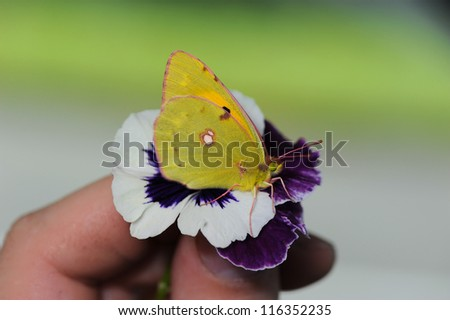 Yellow butterfly resting on flowers - stock photo