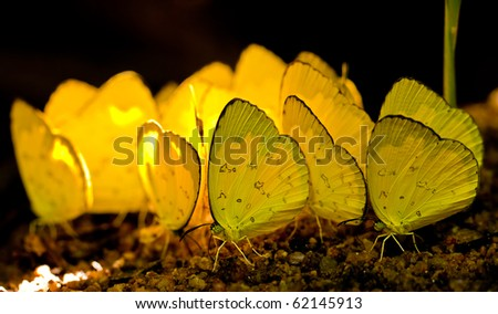 Yellow butterfly sucking soil nutrient - stock photo