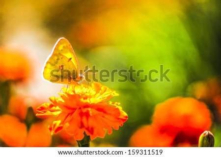 Yellow butterfly with flowers - stock photo