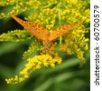 Yellow butterfly with yellow flowers (Silver-Washed fritillary), suck up nectar - stock photo