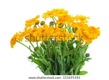 Yellow calendula flowers isolated on white background - stock photo
