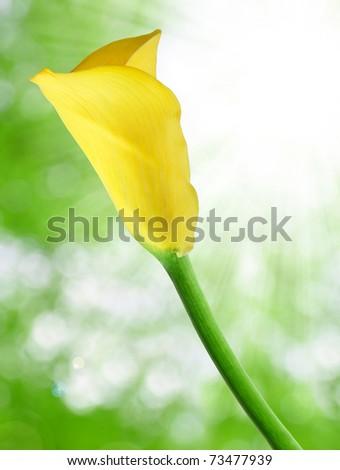 yellow Calla - stock photo