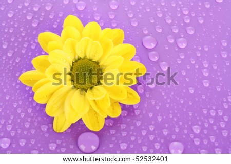 Yellow camomile on violet background - stock photo