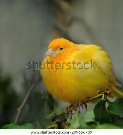 yellow canary bird - stock photo