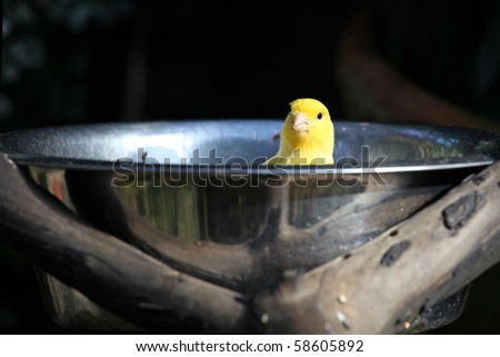 Yellow canary bird in bowl - stock photo