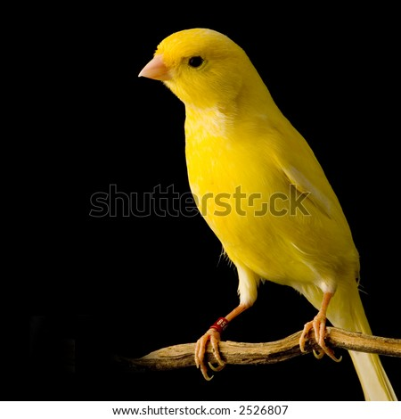 yellow canary on its perch in front of a black background - stock photo