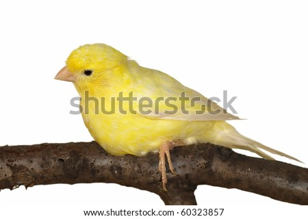 Yellow canary Serinus canaria  isolated on white background - stock photo