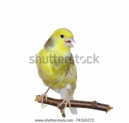 Yellow canary, Serinus canaria isolated on  white background - stock photo