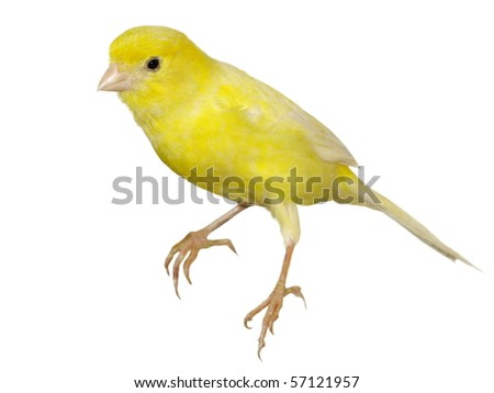 Yellow canary Serinus canaria isolated on white background (exclusive) - stock photo
