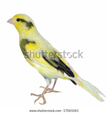 Yellow canary Serinus canaria isolated on  white background (studio)