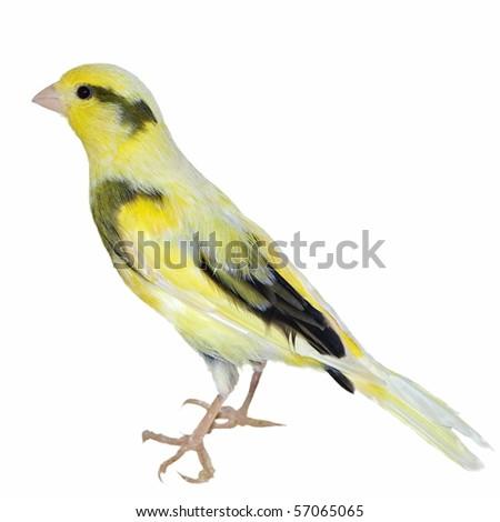 Yellow canary Serinus canaria isolated on  white background (studio) - stock photo