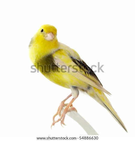 Yellow canary Serinus canaria on a white background - stock photo