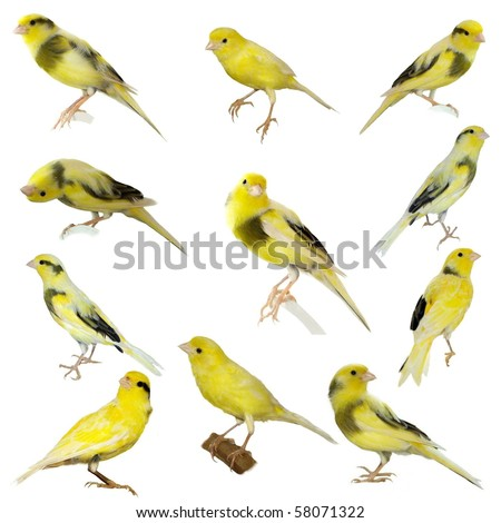 Yellow canary Serinus canaria on a white background ( exclusive) - stock photo
