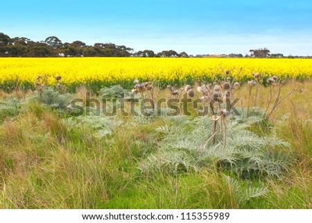 Yellow canola fields in australia - stock photo