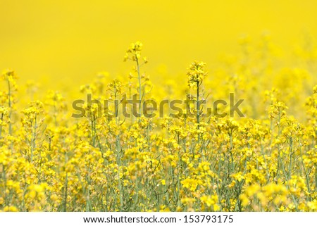 Yellow Canola Flower for background use