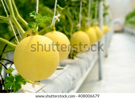 Yellow Cantaloupe melon growing in a greenhouse - stock photo