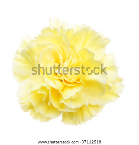 Yellow carnation flower isolated on white - stock photo