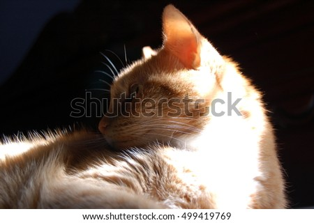 Yellow cat profile of face with white chin and black-background and copy space