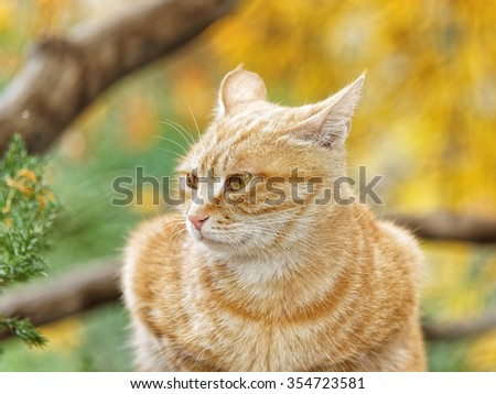 Yellow cat sit in the loaf pose in autumn park, eyes opened widely, ears turn backwards, and its body looks like a love heart. - stock photo