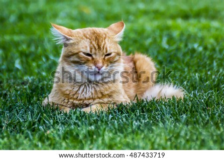 yellow cat sitting and sleeping with grass background