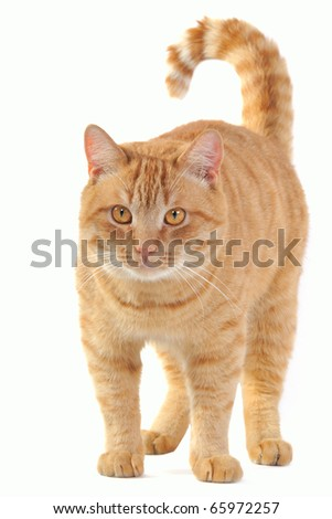 Yellow cat standing and staring into the camera - stock photo