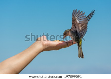Yellow chaffinch with spread wings eating peanuts from a woman hand - stock photo