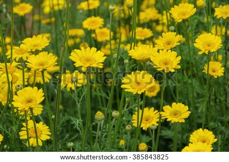 yellow chamomile, a wildflower, Cota tinctoria
