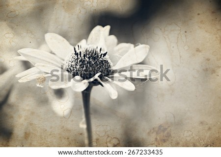 Yellow chamomile flower in summer. Aged photo effect has been applied. - stock photo