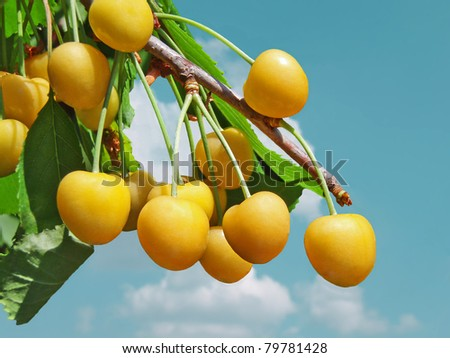 Yellow cherries on a branch - stock photo