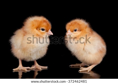 Yellow chick on black background - stock photo