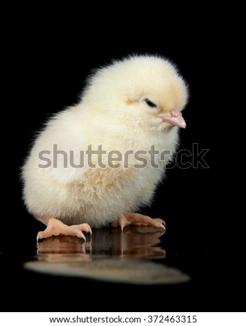 Yellow chick on black background
