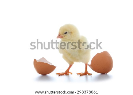 Yellow chicken and eggs isolated on a white background