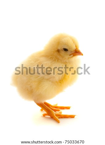 Yellow chicken in studio against a white background - stock photo
