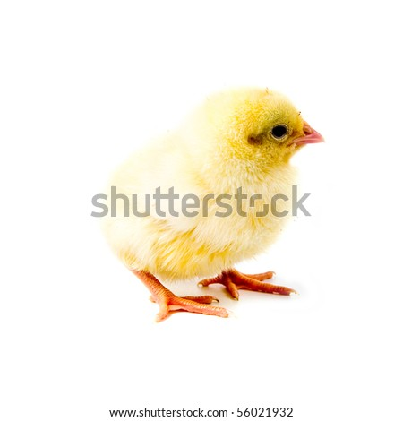 Yellow chicken isolated on a white background - stock photo