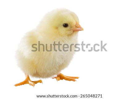 Yellow chicken isolated on white background