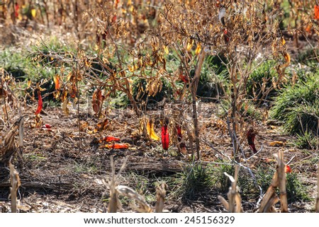 Yellow chili pepper and red one left hanging in harvested field in winter/Yellow Chili Pepper with a Red Chili hang in winter in Harvested Chili Field/Sunlight on yellow chili and red one in field