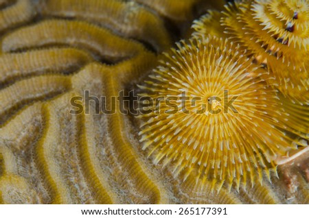 Yellow Christmas tree worm on yellow brain coral  - stock photo