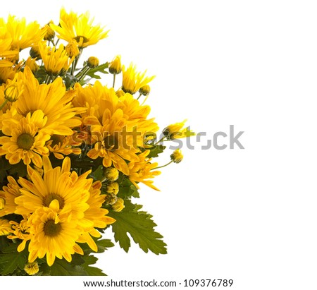 Yellow chrysanthemum - stock photo