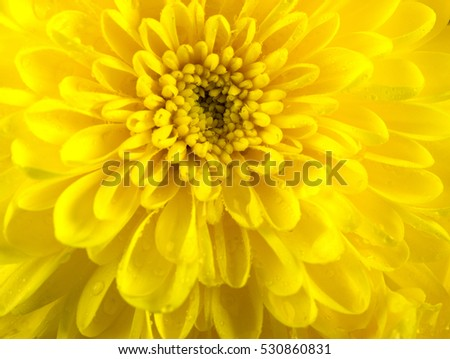 Yellow chrysanthemum.
