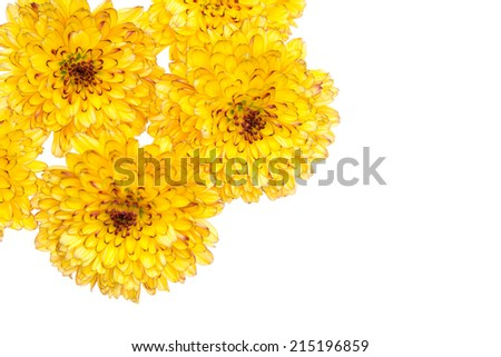 Yellow chrysanthemum and shadow effect on white background - stock photo